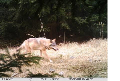 Wolf bei Doksy